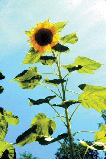 sunflower-plant-large